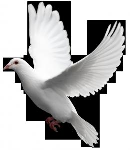 Клипарт фото на белом фоне голубь