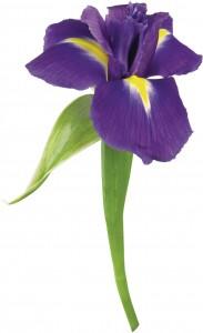 Прекрасный ирис, названный в честь Ириды, богини радуги.