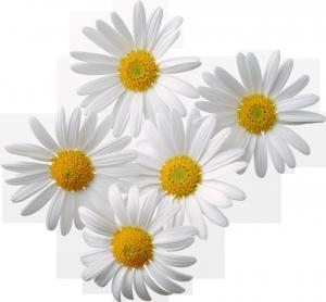 нежные белые ромашки
