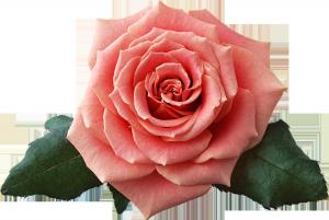 розовая роза достойна юбилейной открытки.