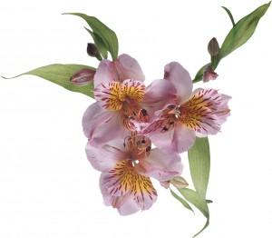Милые цветы. Разнообразно окрашенные альстремерии, разрисованные штрихами и полосками, напоминают орхидеи и лилии одновременно.