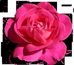 Малиновая роза. Царица флоры в бальном малиновом наряде.