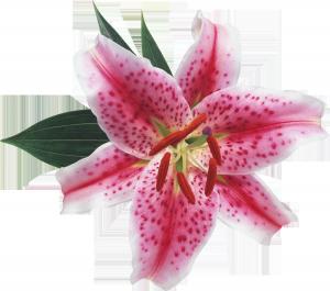 Гордая лилия – цветок французских королей.