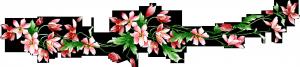 Клипарт лиана соцветий розовых клематисов.