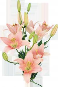 Лилию часто используют в геральдике как олицетворение совершенства и королевской власти.