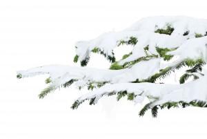 ветка елки в снегу