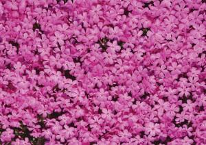 Фон для фотошопа - 131. Малиновые листья. Куст сиреневых цветочков.