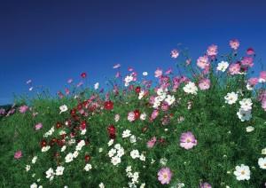 Фон для фотошопа - 135. Огромное поле, усыпанное маленькими цветочками.