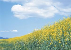 Фон для фотошопа - 15. Летний безоблачный день, поле усыпанное желтыми цветами.