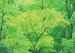 Фон для фотошопа - 242. Густой лиственный лес в жаркую летнюю пору.
