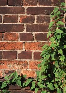 Фон для фотошопа - 259. Скачать фон кирпичная стена. Плющ вьется у кирпичной стены.